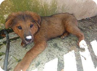 Labrador Retriever/Labrador Retriever Mix Dog for adoption in Ridgefield, Connecticut - Baxter