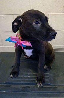 Labrador Retriever/Border Collie Mix Puppy for adoption in BONITA, California - Dancer
