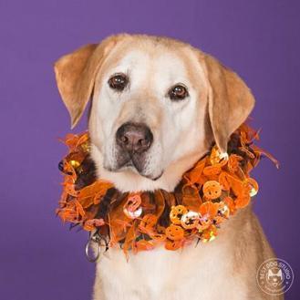 Labrador Retriever Mix Dog for adoption in Northbrook, Illinois - The Dude