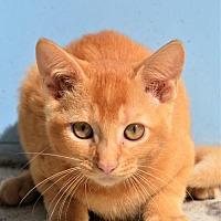 Adopt A Pet :: KITTEN-GOLDIE - DeLand, FL