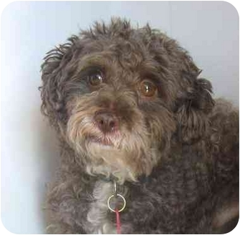 Poodle (Miniature)/Bichon Frise Mix Dog for adoption in Ile-Perrot, Quebec - Skip