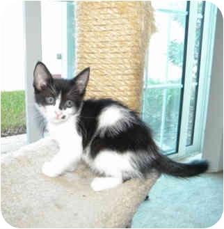 Domestic Mediumhair Kitten for adoption in Tampa, Florida - Pixie
