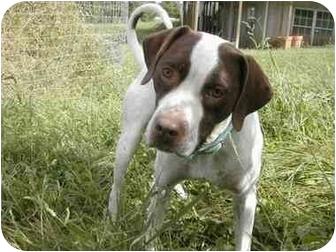 Pointer/Pointer Mix Dog for adoption in Wood Dale, Illinois - Jasper