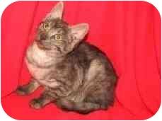Balinese Kitten for adoption in Ephrata, Pennsylvania - Mocha