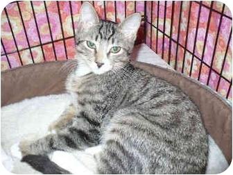 Domestic Shorthair Kitten for adoption in Colmar, Pennsylvania - Burt