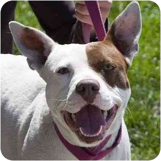 American Pit Bull Terrier Mix Dog for adoption in Berkeley, California - Fiona