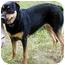 Photo 1 - Rottweiler/German Shepherd Dog Mix Dog for adoption in Cedar Creek, Texas - Gilda