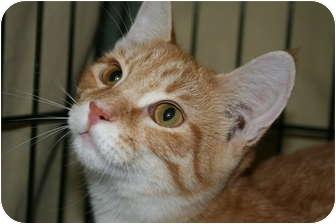 Domestic Shorthair Kitten for adoption in Frederick, Maryland - Tanner