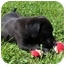 Photo 3 - Labrador Retriever/Boxer Mix Puppy for adoption in Foster, Rhode Island - Leapy