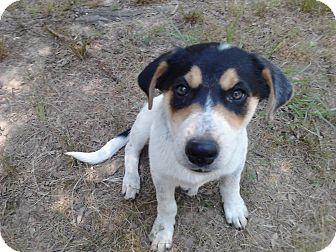 Rat Terrier/Blue Heeler Mix Puppy for adoption in Cranford, New Jersey - Sammy