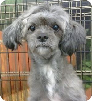 Shih Tzu/Poodle (Miniature) Mix Dog for adoption in geneva, Florida - Periwinkle