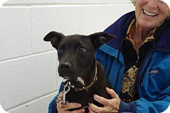 Shepherd (Unknown Type) Mix Puppy for adoption in Elyria, Ohio - Cuddles