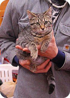 Domestic Shorthair Kitten for adoption in Tillamook, Oregon - Pitsu