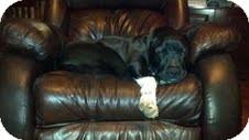 Labrador Retriever Mix Dog for adoption in Lewisville, Indiana - Chico