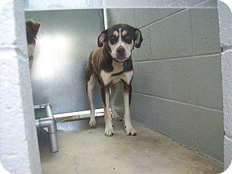 Beagle/German Shorthaired Pointer Mix Dog for adoption in Littleton, Colorado - BASHFUL