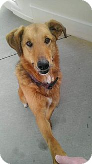 Golden Retriever/Shepherd (Unknown Type) Mix Dog for adoption in Brattleboro, Vermont - Max