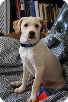 Labrador Retriever/Basenji Mix Puppy for adoption in Knoxville, Tennessee - Lokie
