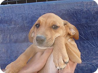 Beagle Mix Puppy for adoption in Coudersport, Pennsylvania - COOKIE