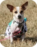 Jack Russell Terrier/Chihuahua Mix Dog for adoption in Staunton, Virginia - Hattie - Perfect Apartment Siz
