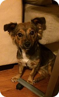 Welsh Corgi/Sheltie, Shetland Sheepdog Mix Dog for adoption in Sedona, Arizona - Apple Blossom