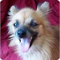 Adopt A Pet :: Evangeline - Plainfield, CT