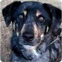 Adopt A Pet :: BAILEY - latrobe, PA