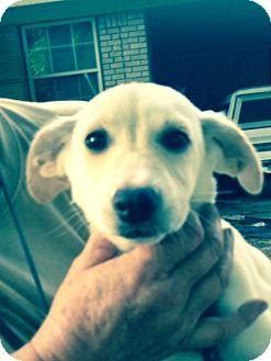 Feist Mix Puppy for adoption in Hatifeld, Pennsylvania - Catie