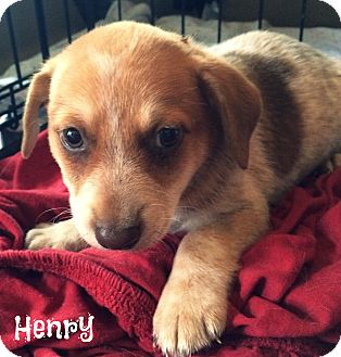 Australian Shepherd Mix Puppy for adoption in Cranford, New Jersey - Henry