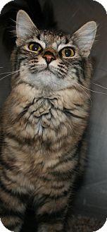 Domestic Longhair Cat for adoption in Pilot Point, Texas - ANASTASIA