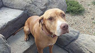 Staffordshire Bull Terrier/Labrador Retriever Mix Dog for adoption in Gilbert, Arizona - Sammy