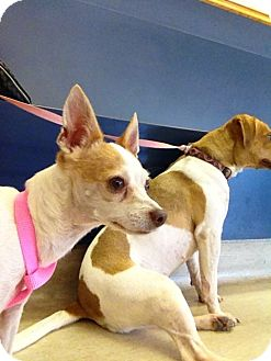 Chihuahua Mix Dog for adoption in Seguin, Texas - Bella
