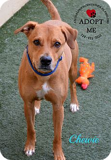 Labrador Retriever/Pit Bull Terrier Mix Dog for adoption in Youngwood, Pennsylvania - Chewie