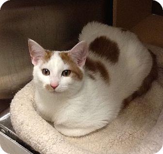 Domestic Shorthair Kitten for adoption in Colmar, Pennsylvania - Trick