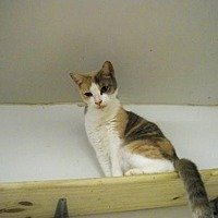 Calico Cat for adoption in Land O Lakes, Florida - BOOTS