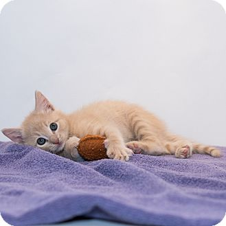Domestic Shorthair Kitten for adoption in Houston, Texas - Sid