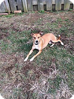 Feist Mix Dog for adoption in Lexington, Kentucky - Flip