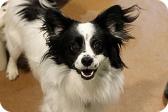 Papillon Mix Dog for adoption in Chicago, Illinois - Merlin