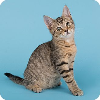 Domestic Shorthair Kitten for adoption in Wilmington, Delaware - Taffy