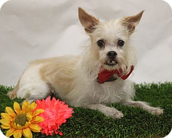 Cairn Terrier Mix Dog for adoption in Fresno, California - Frankie