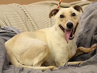 Australian Cattle Dog/Terrier (Unknown Type, Medium) Mix Dog for adoption in Trenton, Missouri - Comet