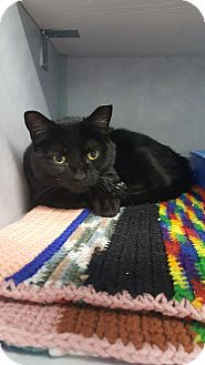Domestic Shorthair Cat for adoption in Cody, Wyoming - Gypsy