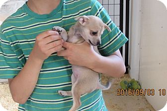 Jack Russell Terrier Mix Puppy for adoption in Walthill, Nebraska - Aly