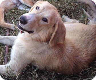 Golden Retriever Mix Dog for adoption in Kaufman, Texas - Zen