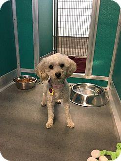 Poodle (Miniature) Mix Dog for adoption in Idaho Falls, Idaho - Princess