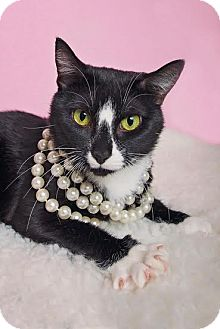 Domestic Shorthair Cat for adoption in Chicago, Illinois - Sabrina