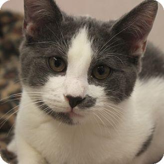 Domestic Shorthair Kitten for adoption in Naperville, Illinois - Moomoo