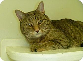 Domestic Shorthair Cat for adoption in Hamburg, New York - Rae Ann