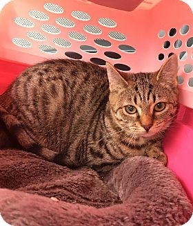 Domestic Shorthair Cat for adoption in East Brunswick, New Jersey - Julie