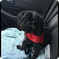 Shih Tzu Dog for adoption in Eastpointe, Michigan - Reggie