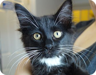 Domestic Mediumhair Kitten for adoption in Greenfield, Indiana - Kissimmee
